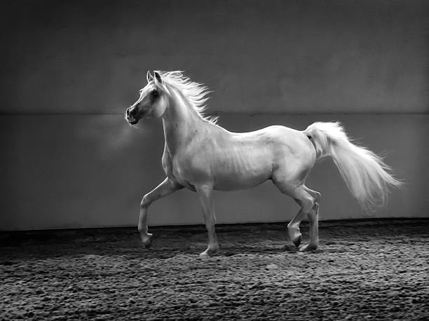 proud arabian horse - stallion in shining light