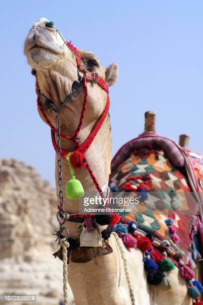 proud camel - working animal stock pictures, royalty-free photos & images