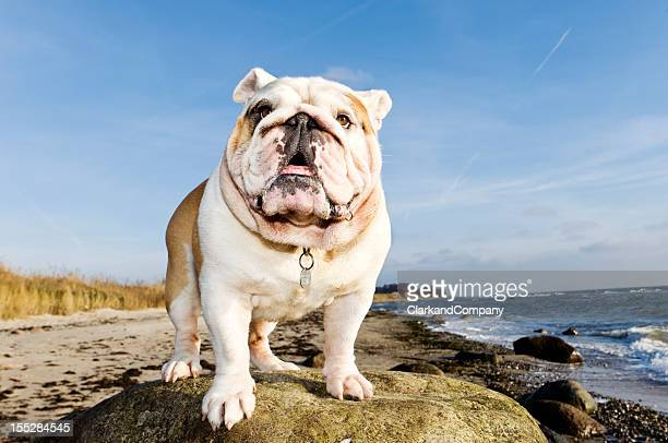 Proud Churchill Like British Bulldog At The Beach