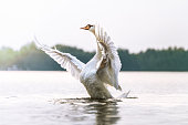 Proud swan on a lake
