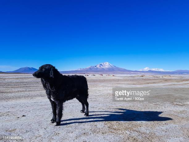 pround dog in the chiguana salt flat - hapuna beach stock photos and pictures