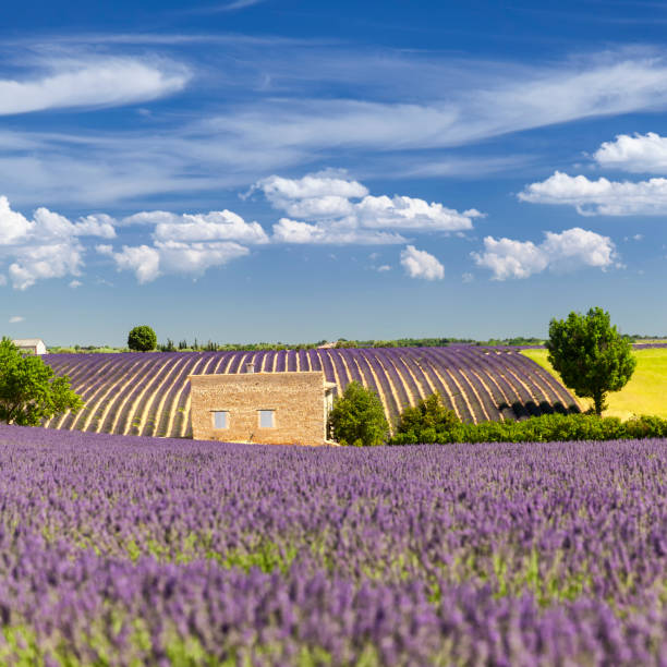Provencal house among the lavender fields