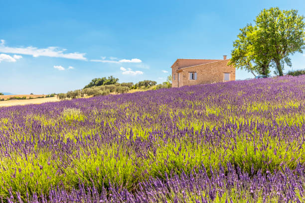 Provencal house in front of lavender fields