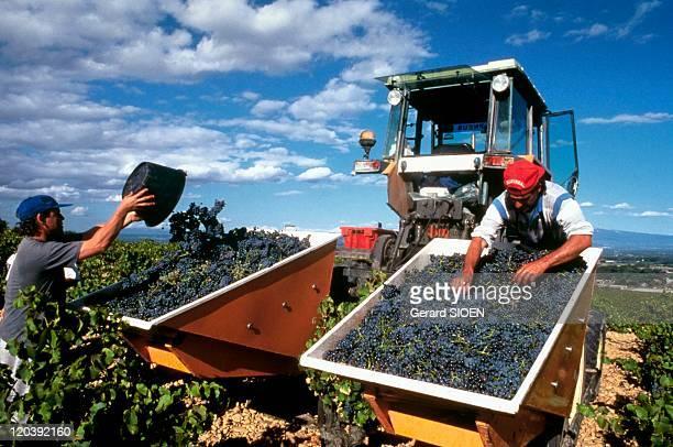 Provence Chateauneufdupape France Grape harvesting