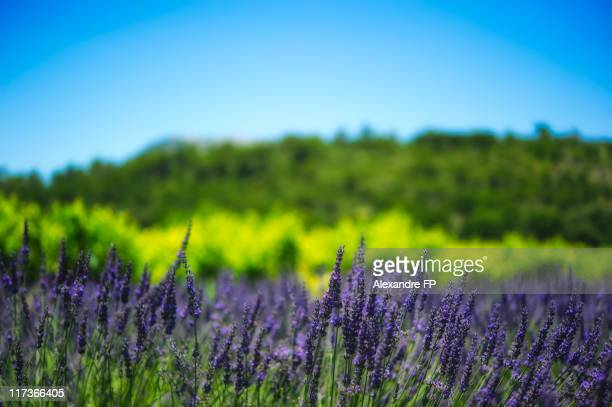 Provence landscape with lavender and vines