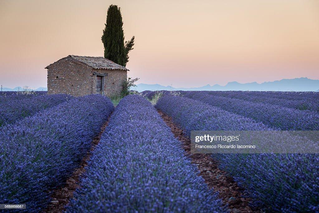 Provence, Lavander field : Stock Photo