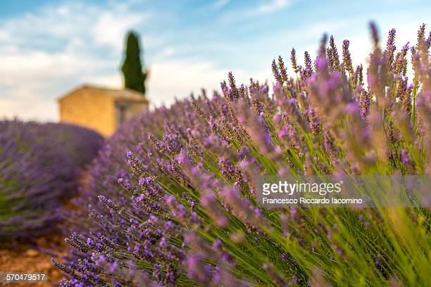 Provence, lavender field