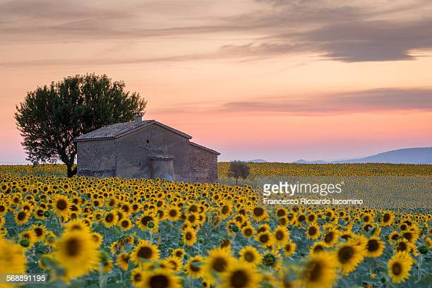 provence, sunflowers field - provence alpes cote d'azur stock photos and pictures