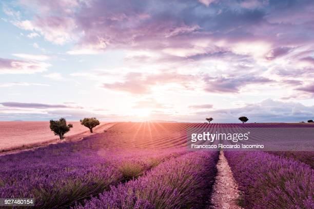 Provence, Valensole Plateau, Lavender field at sunset