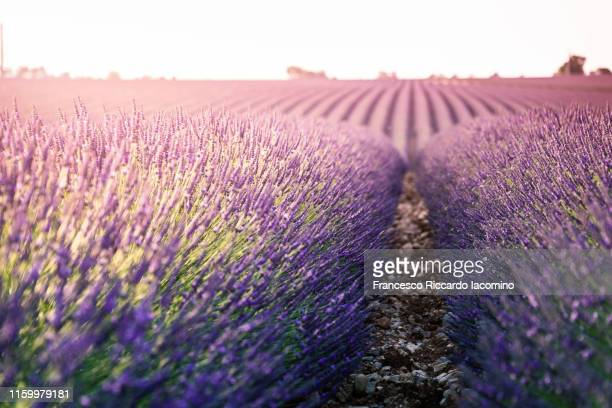 provence, valensole plateau, lavender field. backlight and close up, low point of view - francesco riccardo iacomino france foto e immagini stock