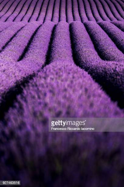 Provence, Valensole Plateau, Lavender field. Natural pattern