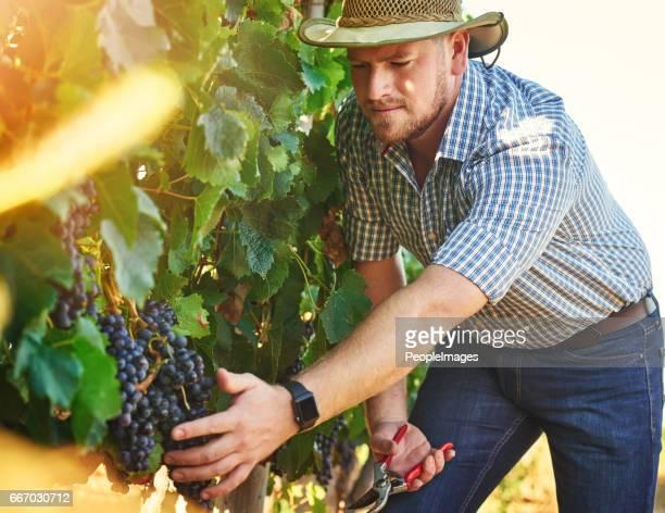 Verstrekken van de hoogste kwaliteit van druiven