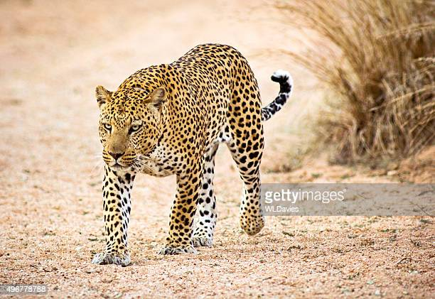 prowling leopard - leopard stock pictures, royalty-free photos & images