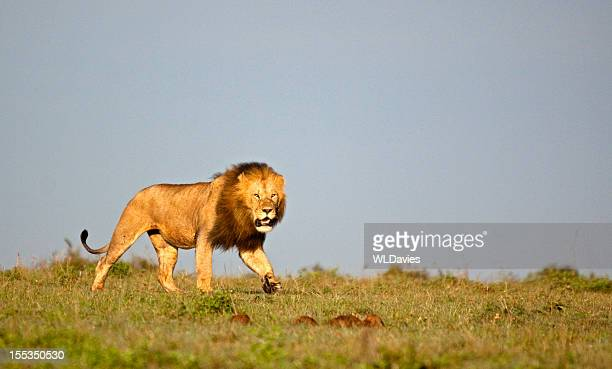 prowling lion - lion feline stock photos and pictures