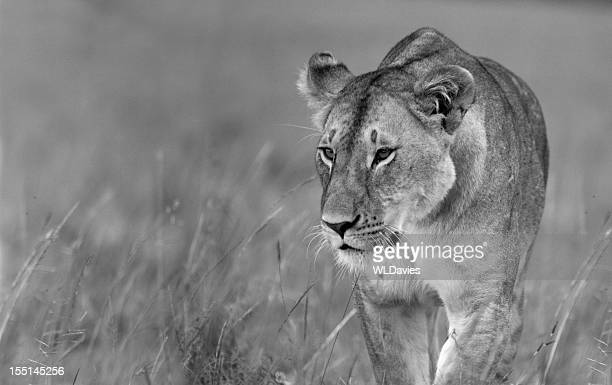 Prowling Lioness