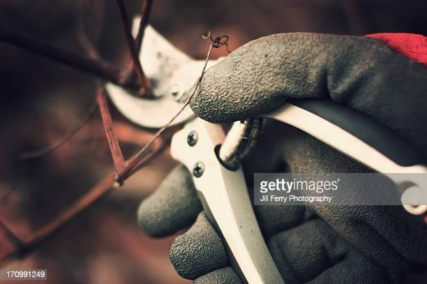 pruning a grapevine - pruning shears stock photos and pictures
