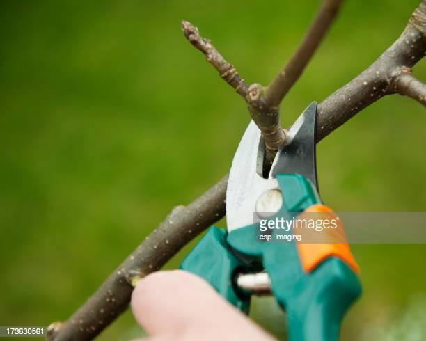 Pruning an apple tree