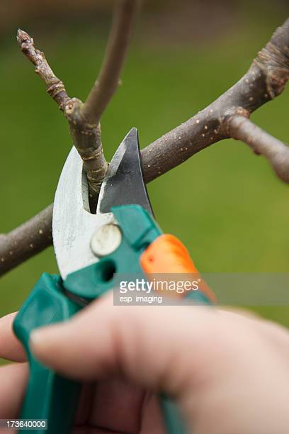 Pruning an apple tree