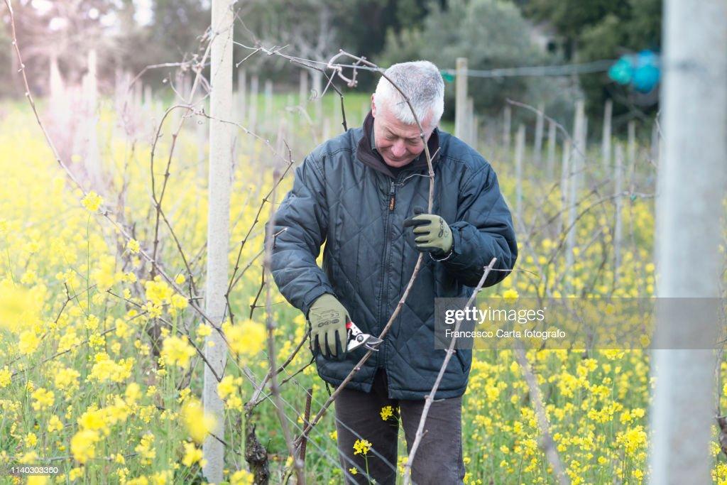 Pruning vines : Stock Photo