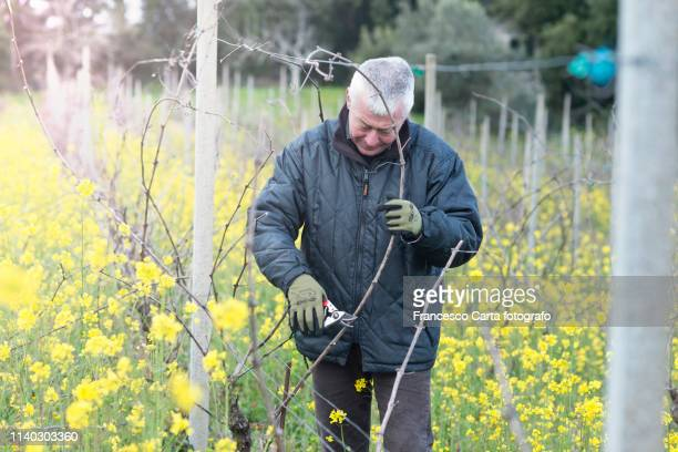 pruning vines - tempio pausania stock pictures, royalty-free photos & images
