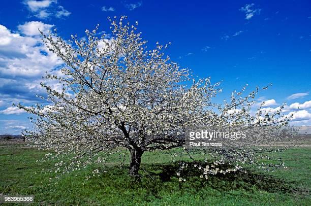 prunus avium (wild cherry, sweet cherry) - flowering - fruit tree stock pictures, royalty-free photos & images
