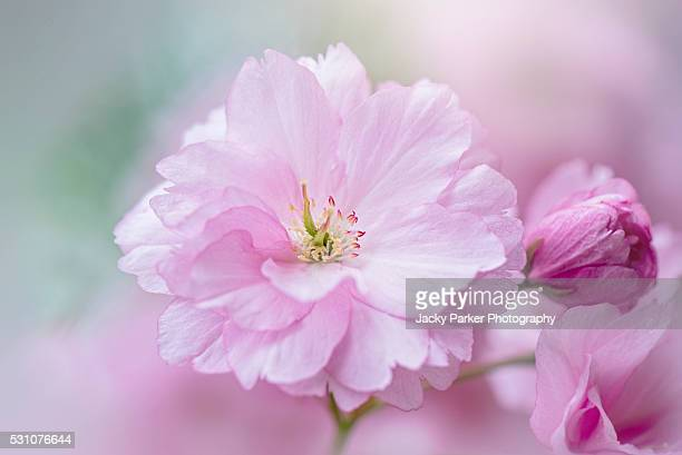 prunus 'kanzan' pink blossom flower - blossom stock pictures, royalty-free photos & images