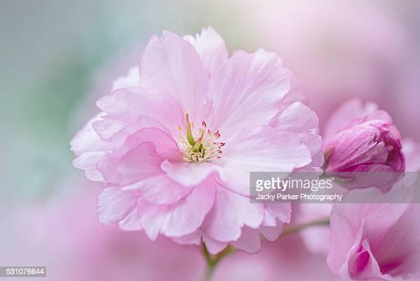 prunus 'kanzan' pink blossom flower - 果樹の花 ストックフォトと画像