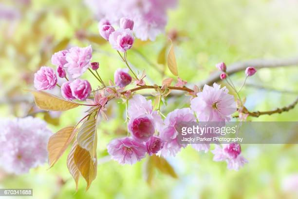 Prunus Kanzan Pink spring flowering Cherry Blossom