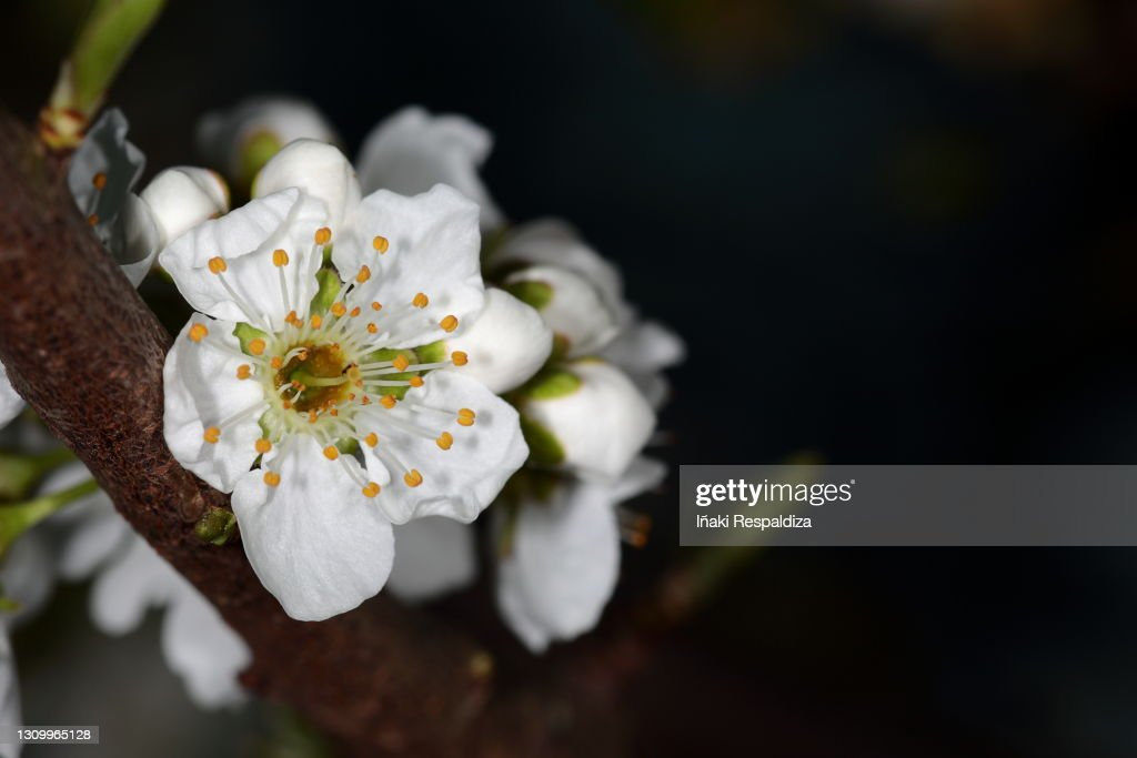 Prunus : Foto de stock