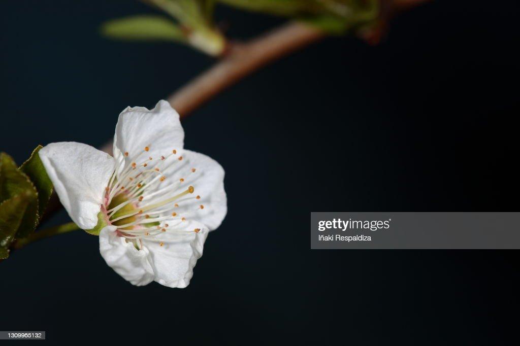 Prunus : Foto de stock