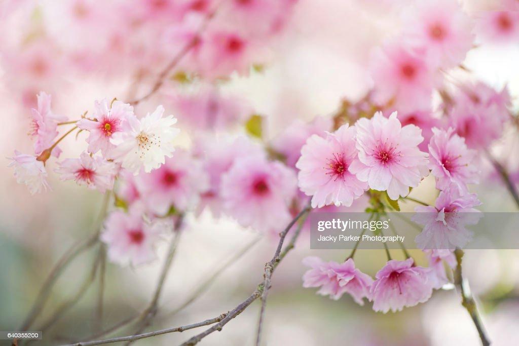 Prunus 'Pink Ballerina' spring blossom : Stock Photo
