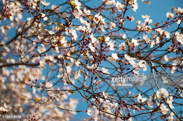 359 Japanese Cherry Blossom Wallpaper Photos And Premium High Res Pictures Getty Images