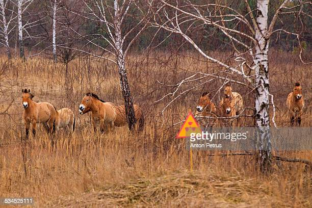 przewalski's horse the exclusion zone, chernobyl - chernobyl disaster stock pictures, royalty-free photos & images