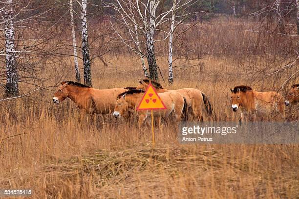 przewalski's horse the exclusion zone. chernobyl - chernobyl stockfoto's en -beelden