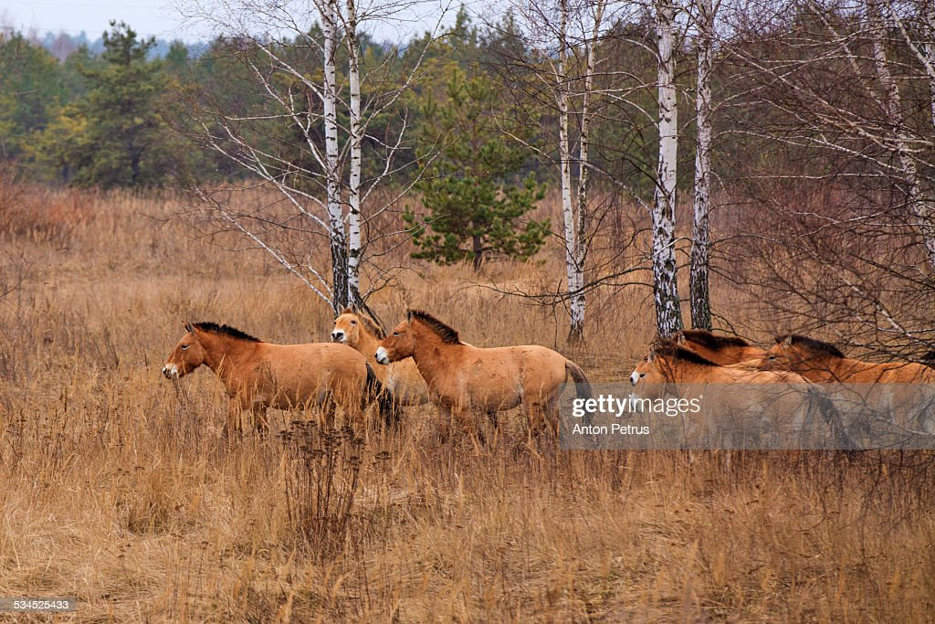 Przewalski's horse the Exclusion Zone. Chernobyl : Stock Photo