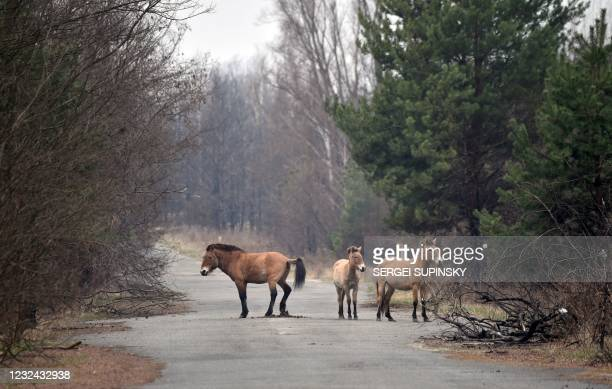 Przewalski's horses wander near a forest road in the Chernobyl zone on April 13, 2021. - They are the Przewalski's horses, an endangered species...