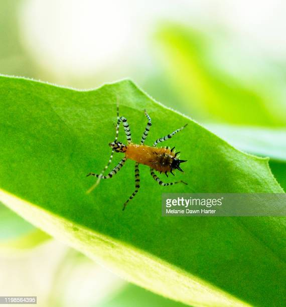 pselliopus nymph - assassin bug stock pictures, royalty-free photos & images
