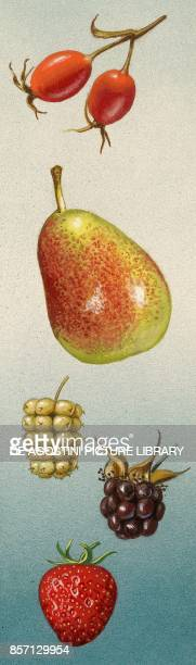 Pseudocarp and infructescence rose pear mulberry blackberry strawberry drawing