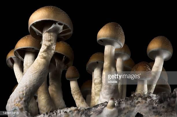 psilocibe cubensis - magic mushroom stock photos and pictures