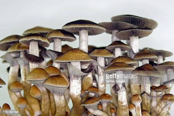 psilocybe cubensis  'thai' - magic mushroom stock photos and pictures