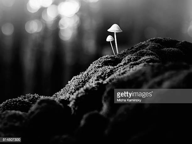 psychedelic mushrooms - poisonous mushroom stock photos and pictures