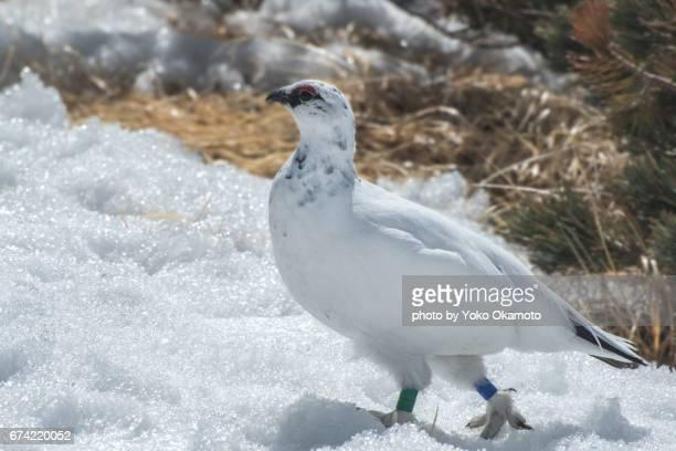 Ptarmigan in the snowy field