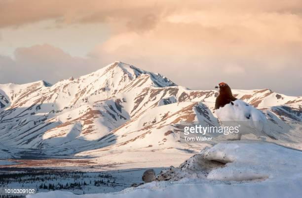 Ptarmigan, Willow Ptarmigan, Male, Spring, Alaska
