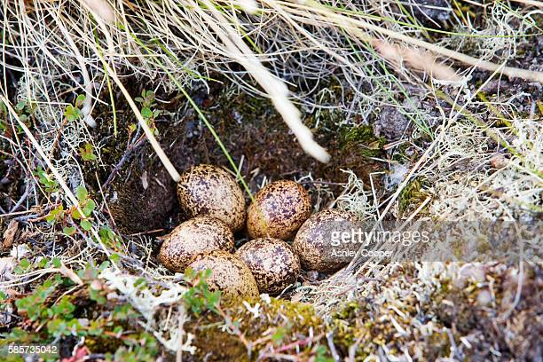 A  Ptarmigans nest on the Greenland tundra near Camp victor west Greenland