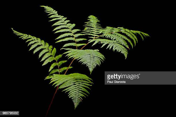 pteridium aquilinum (bracken, brake, eagle fern) - fern stock pictures, royalty-free photos & images