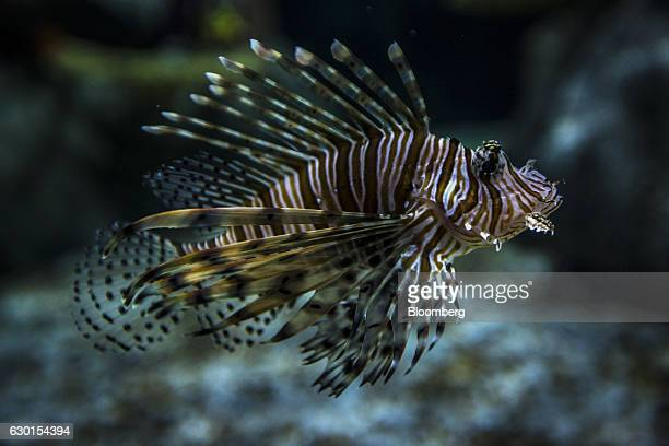 A Pterois also know as lionfish swims inside a tank at AquaRio South America's largest aquarium in Rio de Janeiro Brazil on Saturday Dec 3 2016...