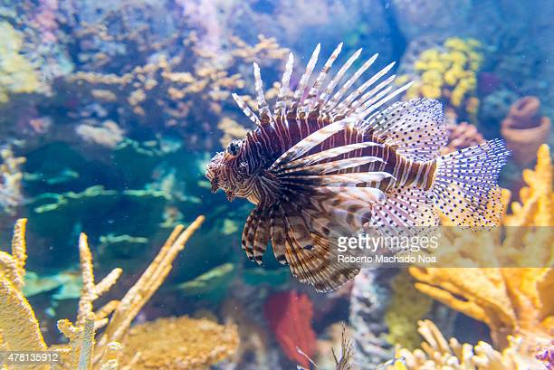 S AQUARIUM TORONTO ONTARIO CANADA Pterois commonly known as lionfish is a genus of venomous marine fish found mostly in the IndoPacific