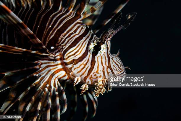 a pterois volitan lionfish. - indo pacific ocean stock pictures, royalty-free photos & images