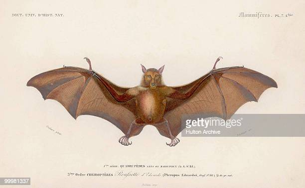 A Pteropus Edwardsii or flying fox circa 1870 An engraving by Fournier after a painting by Oudart from the 'Dictionnaire Universel D'Histoire...