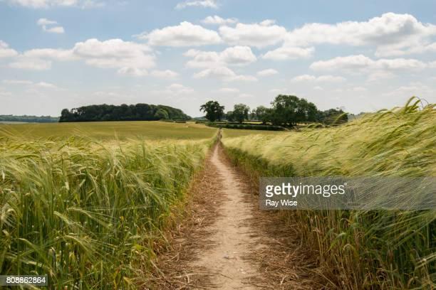 public footpath through wheat field in amersham, buckinghamshire. - grano graminacee foto e immagini stock